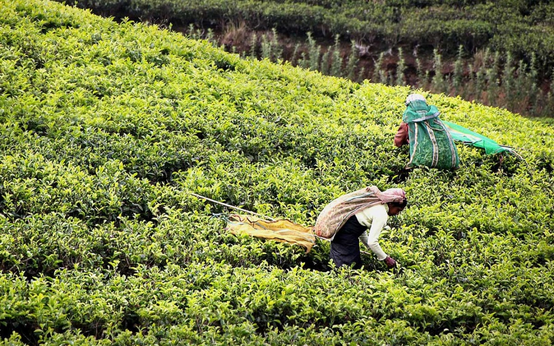 sri-lanka plantations thé