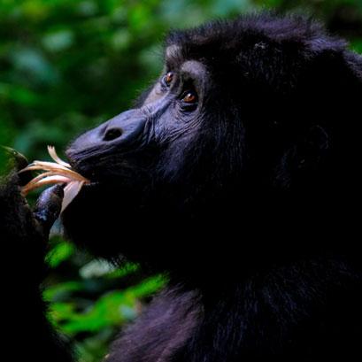 Perles rares Voyage Ouganda Gorilles Montagnes